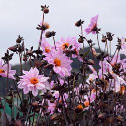 Natural Bulbs Dahlia Bishop of Leicester- Bio bloembol