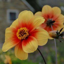 Natural Bulbs Dahlia sunshine- Bio bloembol