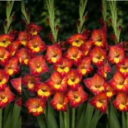 natural bulbs gladiolus bambino michele Bag-again zero waste webshop
