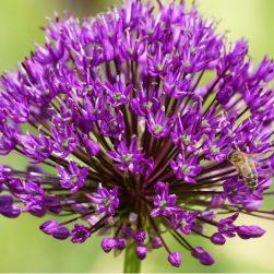 allium purple sensation Bag-again zero waste webshop